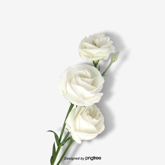 ارتفع نبات زهرة بيضاء جزء توضيح نبات Png وملف Psd للتحميل مجانا White Flower Pot Flower Line Drawings White Flower Background