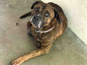 TIGER - ID#A5046666\r\n\r\nMy name is Tiger and I am described as a male, brown brindle Pit Bull Terrier mix\r\n\r\nThe shelter thinks I am about 4 years old.\r\n\r\nI have been at the shelter since Apr 03, 2017.\r\n\r\nFor more information about this animal, call:\r\nLos Angeles County Animal Control - Carson at (310) 523-9566\r\nAsk for information about animal ID number A5046666