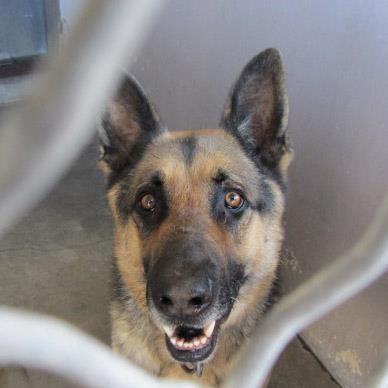 A4529076 My Name Is Buddy I Am A 3 Yr Old Altered Male Black Brown German Shepherd Owner Left Me Here On December 29 Baldwin Park Shelter Open For