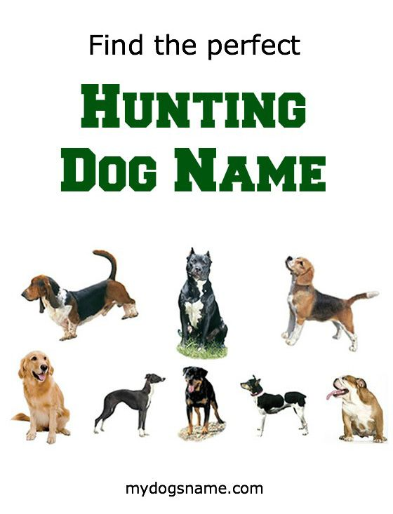 When you think of a typical hunting dog, a few adjectives come to mind: loyal, disciplined, tough and smart. A great hunting dog name reflects these.