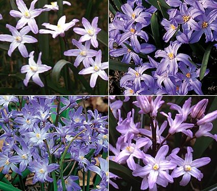 """glory of the snow mix. full or part sun, blooms APRIL. deer resistant bulb suitable for naturalizing. lawn, rock garden, hillside. 4-8"""""""
