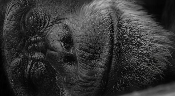 Take me home  #captive #chimp #chimpanzee #closeup #monkey #sad #zoo