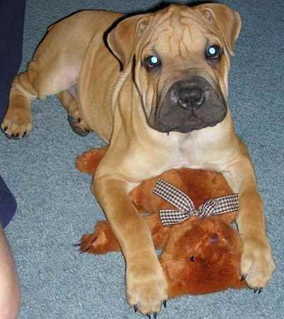 Boxer/ Chinese Shar-Pei mix: Shar Pei mixes are where its at.