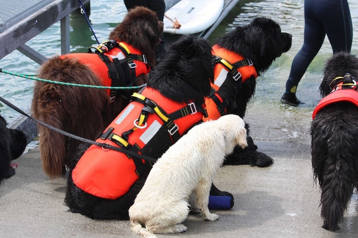 Rescue Newfs and a mascot!  This was a training session with Terranova in Italy.