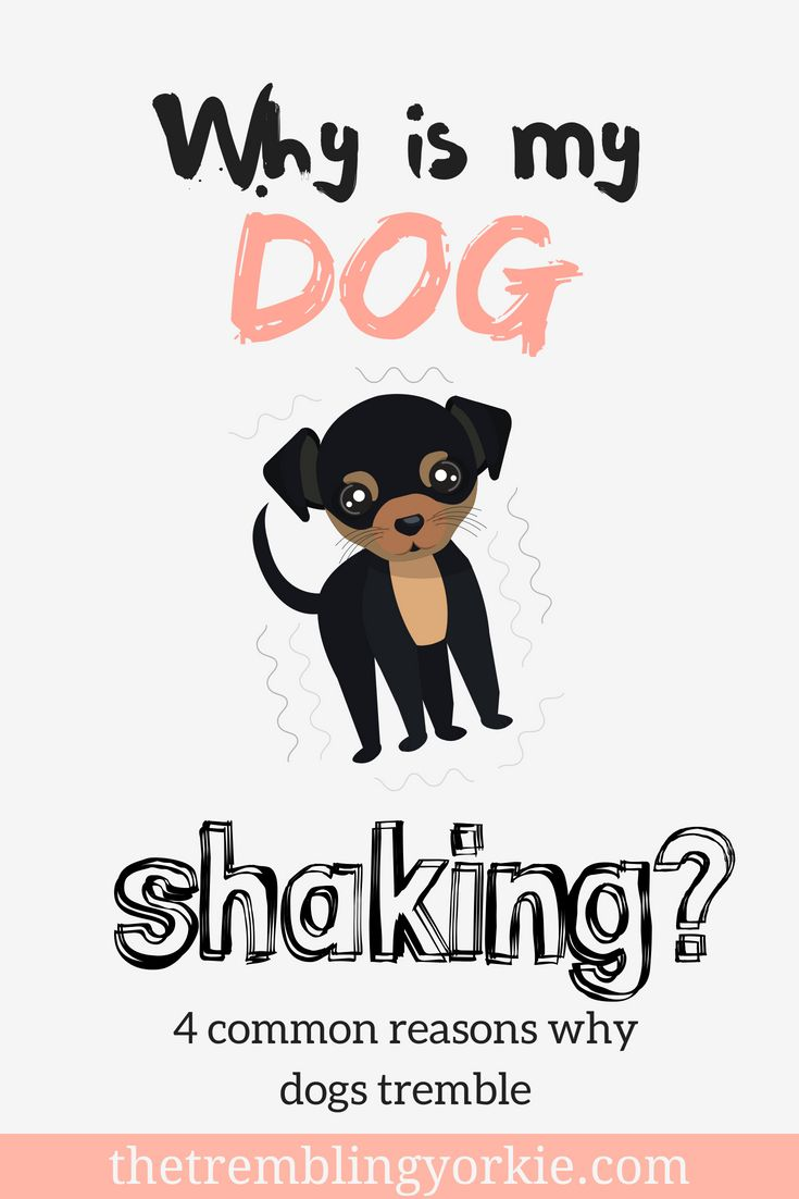 My Yorkie Is Trembling Common Causes Of Shaking In Dogs Dog