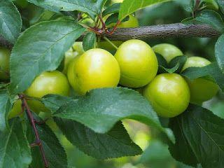 Despre fructe si legume: CORCODUSELE VERZI