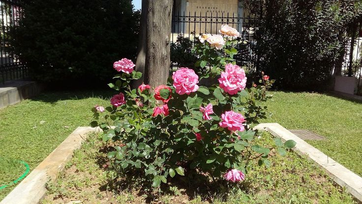 Day 5, Ανώνυμος Βικιπαιδιστής: Ροζ τριανταφυλλιά