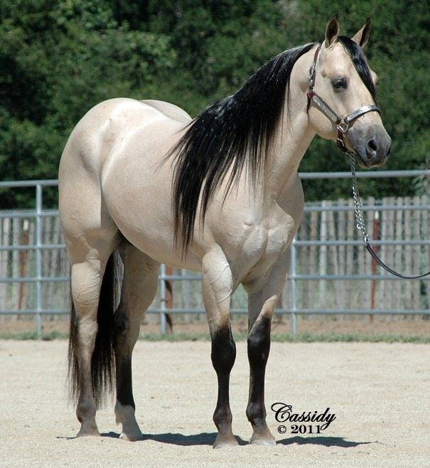 JS Tivio Austin Buttermilk Buckskin Quarter Horse stallion from danielle rollins