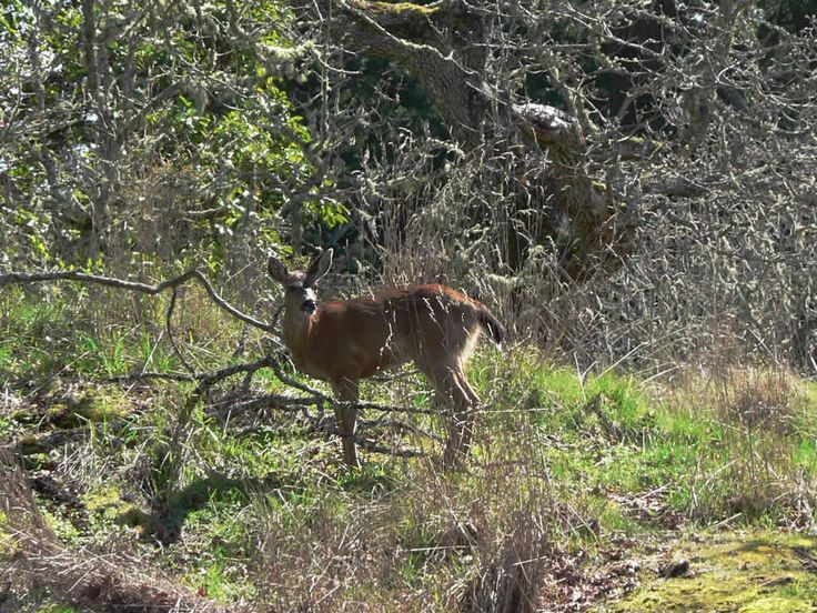 A deer at Fort Rodd Hill National Historic Site, Esquimalt, BC, Canada.