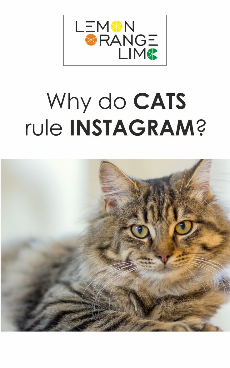 Looking for some social media tips and tricks? We can learn a lot from cat-related content. Improve your social media marketing, read the article: http://lemonorangelime.com/motivating-stuff/cats-rule-internet-social-media-tips/