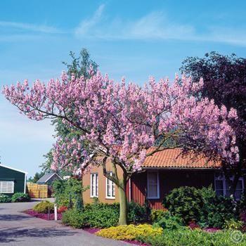 Blauglockenbaum - 1 baum günstig online kaufen, bestellen Sie schnell und bequem online