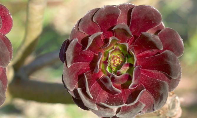 Las aeonium arboreum se caracterizan por ser plantas arbustivas ramificadas, siendo los arbustos altos, robustos y con inflorescencias densas y cónicas de flores amarillas.