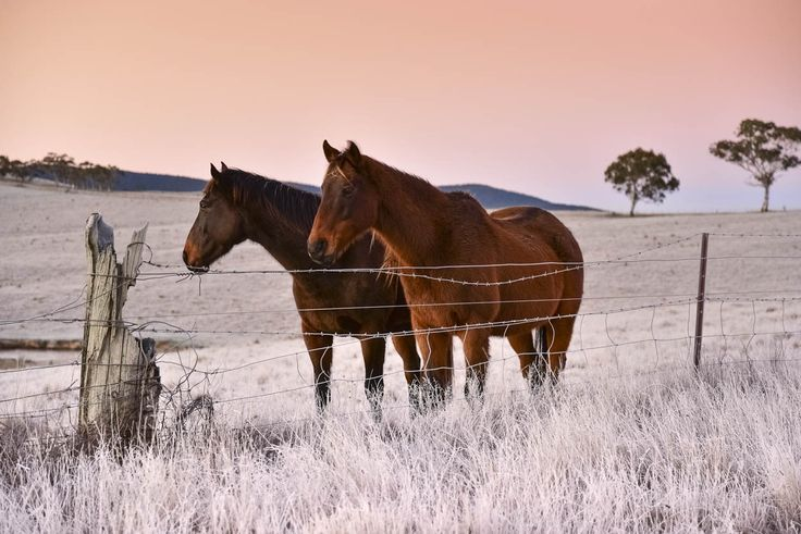 RoyalAuto, September, 2016. Frosty morning, Omeo. Photos: Anne Morely. #omeo #frost #winter #frostymorning #horse #horses