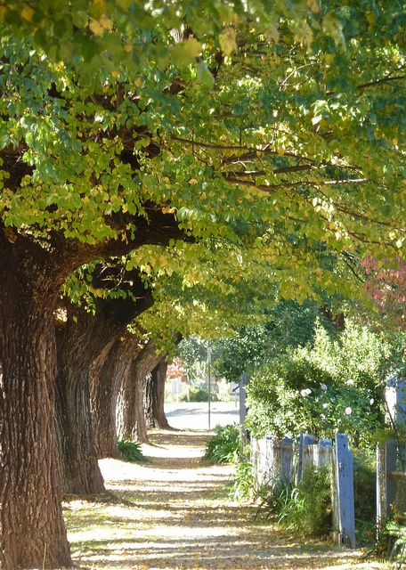 A very pretty tree-lined walkway in Bright, Victoria Australia    Cobden Sreet