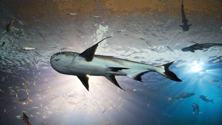 El pez gato del Mekong: el rey del agua dulce