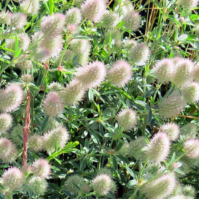 Rabbitfoot Clover wildflower