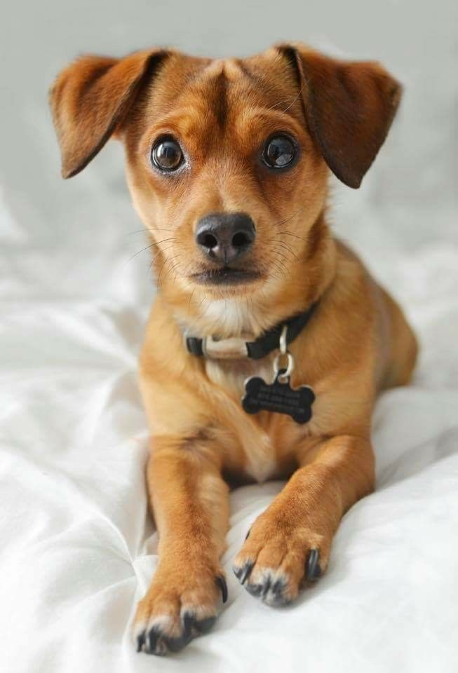 Dorkie Yorkie Dachshund Mix Love It I Fortheloveofdog Dog