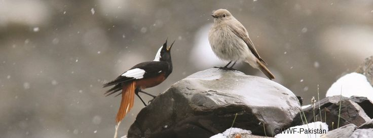 """White Winged Redstart"" Khunjarab National Park, Gilgit"