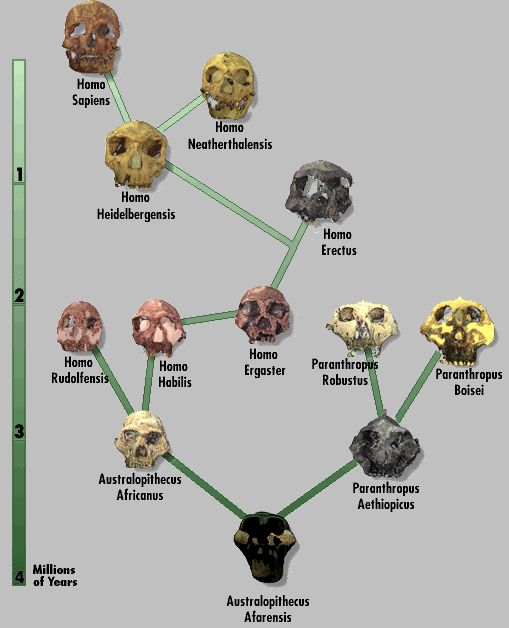 Human Evolution Chart