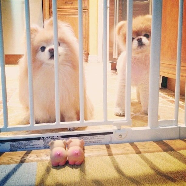 When Buddy and Boo were in doggy jail. | The 40 Cutest Pictures Of Boo And Buddy
