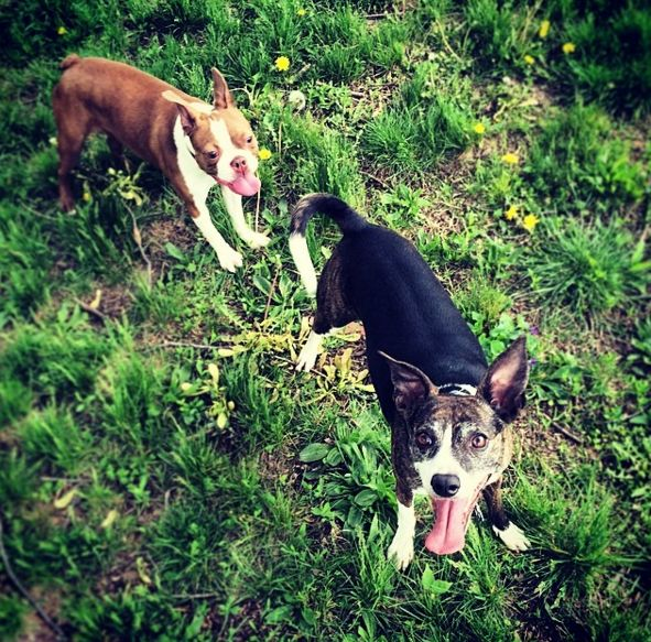 Happy pups at Maplewood Dog Park at Kellogg Park - St. Louis, MO - Angus Off-Leash #dogs #puppies #cutedogs #dogparks #stlouis #missouri #angusoffleash