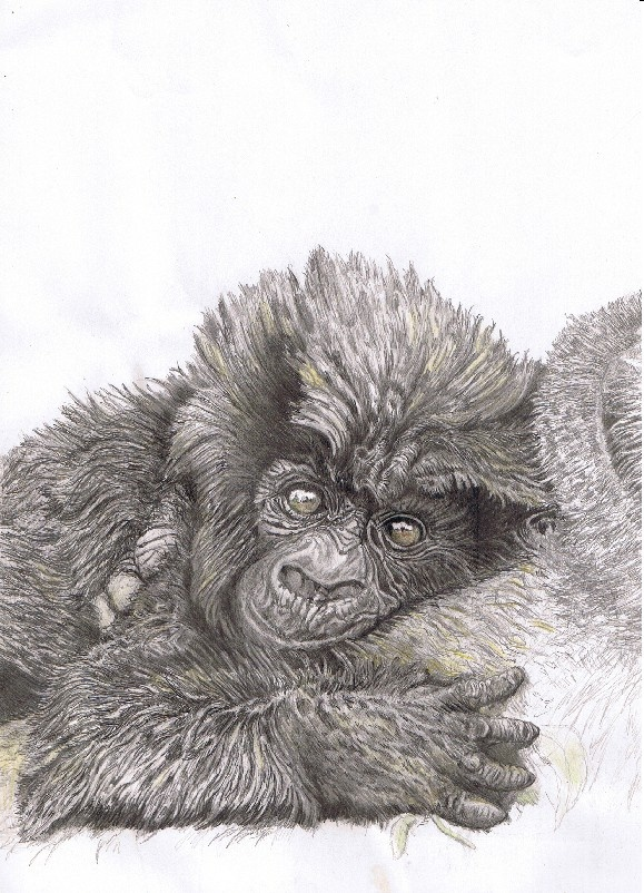 This is still one of my favourite works. Taken from a National Geographic image it took me three weeks to complete. Mountain Gorillas even now are critically endangered. Look after our earth.