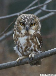 Northern Saw-whet Owl — Birds of North America Online. Photo by Jim Weaver/CLO