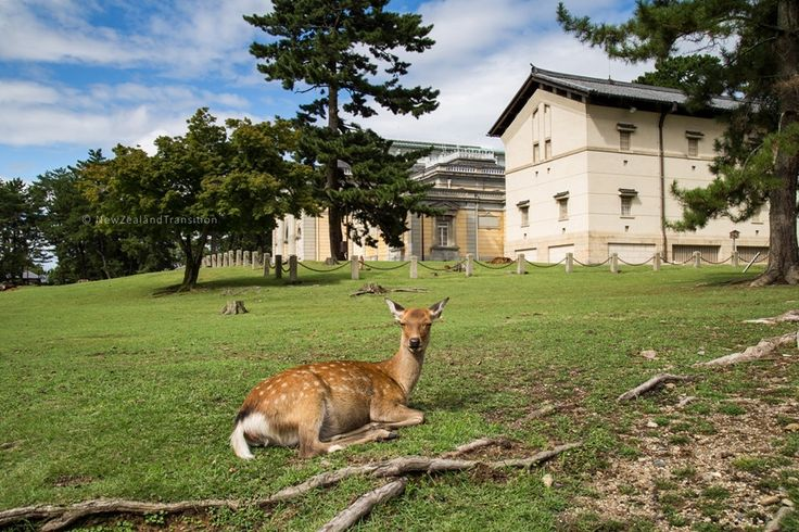 https://flic.kr/p/LDnaKP | deer sitting on grass outside Nara National Museum | Check my Facebook | Instagram | Getty Images | Flavors.me