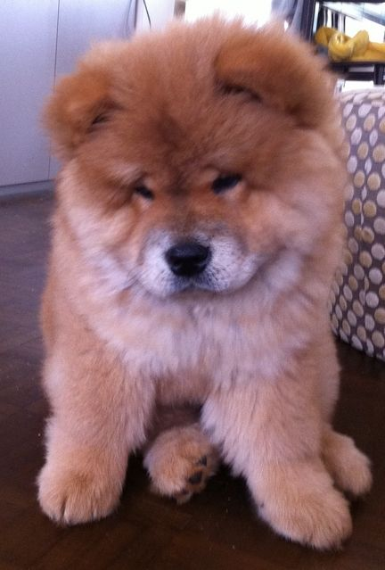 HOW CUTE are chow puppies??! I wanna be a chow chow so in the winter I can play with other dogs and pretend that we're having a chubby contest. I would win.