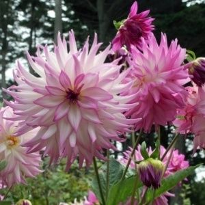 Dahlias are a great choice for both new and experienced gardeners alike. These tuberous perennials will grow in full to partial sun, in almost any soil, and are not usually favored by deer or rabbits.