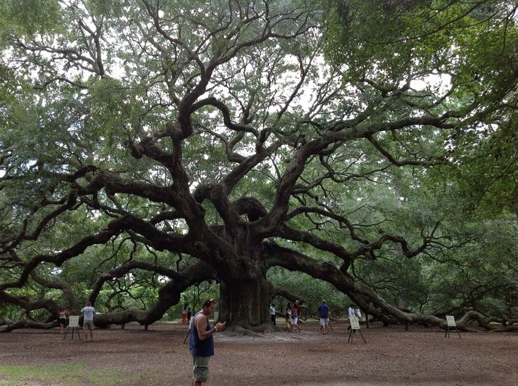 angel oak tree charleston south carolina   Angel Oak Tree in South Carolina