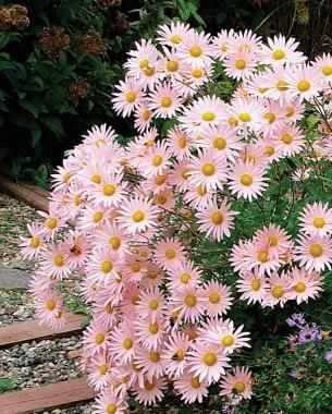 'Sheffield Pink' mum (Chrysanthemum 'Sheffield Pink') USDA hardiness zones: 3 to 9 Size: 2 to 3 feet tall and wide  Conditions: Full sun; we...