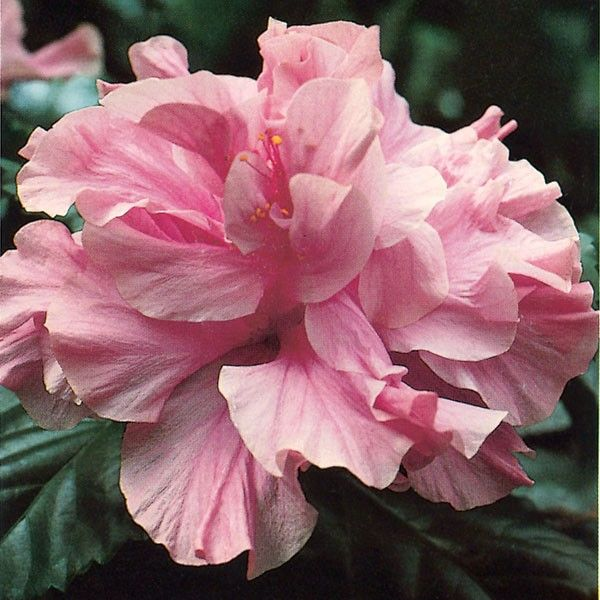 Hibiscus 'Kona' (Hibiscus rosa-sinensis hybrid) free blooming double flowers