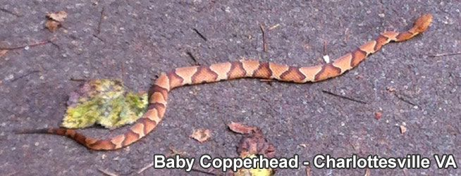 Copperhead Snake Information & Facts
