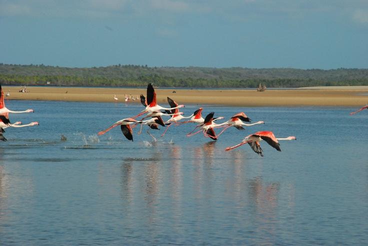 Flamingos at Pomene