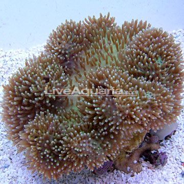 how to put soft coral on live rock