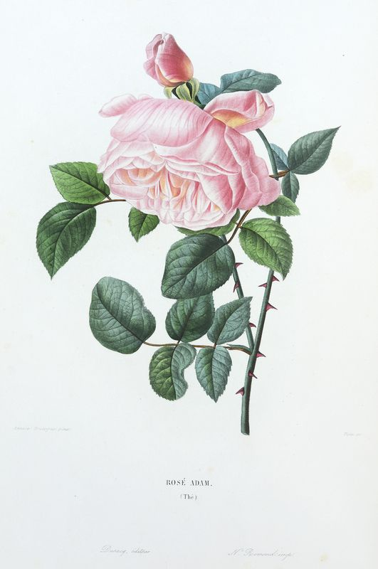 SNHF | Rosé Adam
