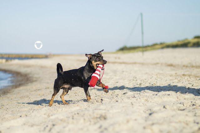© Melody M. Bayer Fotografie   BUDDY&ME #PinscherBuddy #urlaubmithund #hundefotografie #zingst #Ostsee