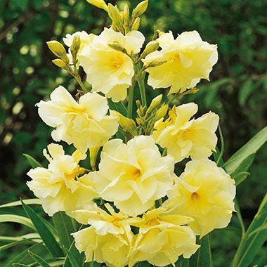 laurier rose jaune double b fleurs pinterest jolies et fleur. Black Bedroom Furniture Sets. Home Design Ideas