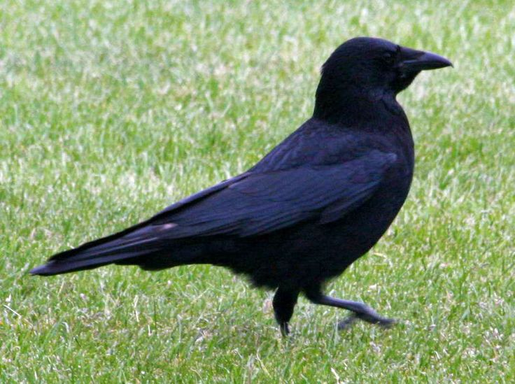 how to move crows on