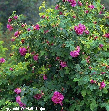 Rosa Francofurtana-gruppen 'Ruustinna', Ros. Blommar rödlila i juli och augusti.  Starkväxande buske.  Riklig blomning.  Höjd: 1,5-2 m.  Zon V.