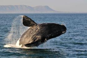 Animais em Extinção no Brasil - BALEIA-FRANCA-DO-SUL Também conhecida como baleia-franca-austral, essa baleia, encontrada no litoral brasileiro, vem sofrendo com a caça, pesca, bem como a poluição das águas. Na época de ter os filhotes, as mães buscam águas mais quentes e rasas para darem à luz. (Espécie em perigo)