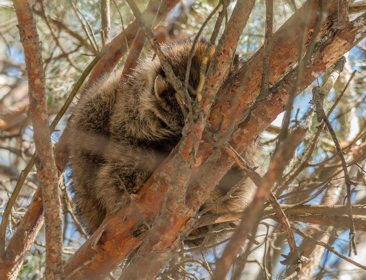 Raccoon sleeping by Steve Dunsford on 500px | Raccoon ...