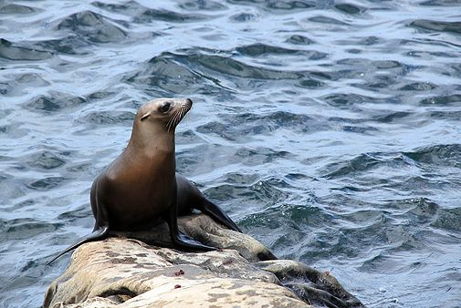 Auch an Land fix unterwegs: Seelöwen können ihre Hinterbeine nach vorne stülpen und auf diese Weise watscheln (Foto von: Colourbox)