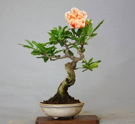 237 besten bonsai bilder auf pinterest bonsai exotische blumen und pflanzen. Black Bedroom Furniture Sets. Home Design Ideas