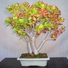 10 Crassula arborescens Seeds - Indigenous Bonsai Seeds For Sale - Global Shipping