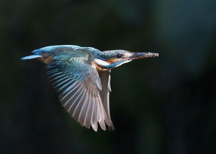 Kingfisher, Danube Delta