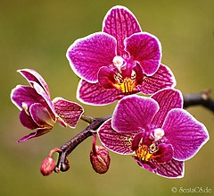 outlined orchids