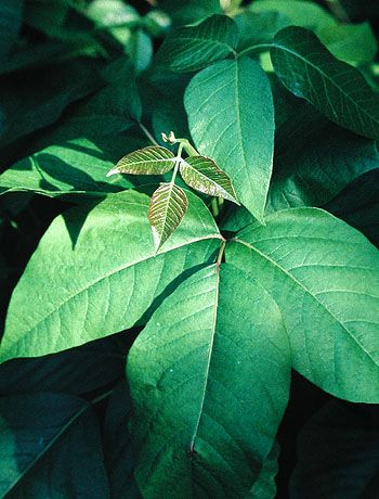 great pics to help identify poison ivy~good to know!