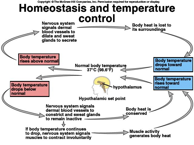 This picture contributes evidence to homeostasis by explaining what involuntary actions our body takes to keep us at body temperature.